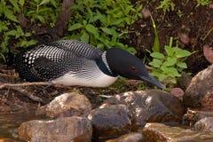 Loon comune sul nido Fotografie Stock