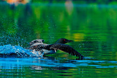 Loon on a departure Royalty Free Stock Photos