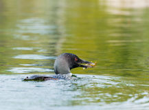 Loon Fishing For Dinner Royalty Free Stock Image
