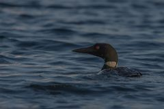 Loon fishing on the lake royalty free stock photography