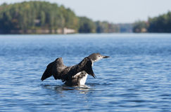 Loon Flapping It's Wings. Loon on a northern lake flapping it's wings royalty free stock image
