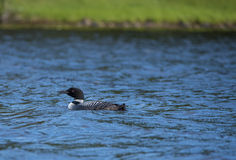 Loon floats on Lake royalty free stock image