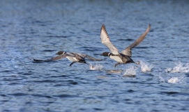 Loon flying Royalty Free Stock Photo