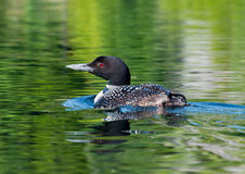 Loon Glides Across the Lake Stock Photos