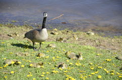 A loon and her children Stock Image