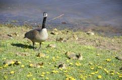 Loon i jej dzieci Obraz Stock