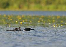 Loon with passenger. Loon with baby on back Royalty Free Stock Images