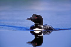 Loon Reflection Royalty Free Stock Image
