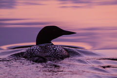 Loon at sunset. A Common Loon on an Alaskan lake at sunset Royalty Free Stock Photos