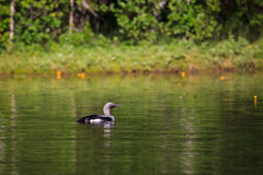 Loon swimming in small lake Royalty Free Stock Photos