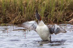 Loon throated rouge Photos libres de droits