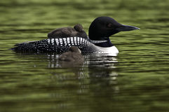 Loon and two Babies. Baby loon on the parents back.The other is swimming Royalty Free Stock Photography