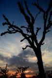 Loong tree (Prosopis cineraria) silhouette at sunset. Mandawa. Rajasthan. India Royalty Free Stock Image