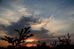 Loong tree (Prosopis cineraria) silhouettes at sunset. Mandawa. Rajasthan. India Royalty Free Stock Photo