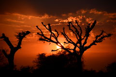 Loong tree (Prosopis cineraria) silhouettes at sunset. Mandawa. Rajasthan. India Stock Photo