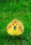 loonie травы младенца Стоковое Изображение RF