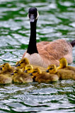 Loonie Baby Learn Swiming. Loonie Mother teaching her baby swiming Stock Images