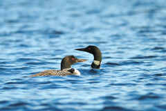 Free Loons Stock Image - 11230761