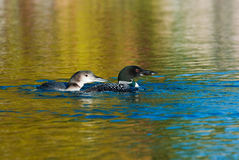 Loons Royalty Free Stock Photo