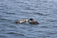 Loons, Adult Common Loon Feeding Baby Loon Stock Images