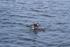 Loons, Adult Common Loon, Feeding Juvenlie Stock Photo