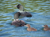 Loons Looking Left & Right. Adult loons are looking in opposite directions while the babies are looking left stock photo