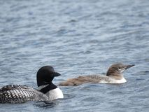Loons. Looks on a northern Wisconsin lake Stock Photography