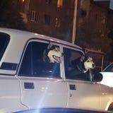 Loop de honden in de avond stad door auto royalty-vrije stock afbeeldingen