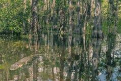 Loop Road Cypress National Preserve royalty free stock photo