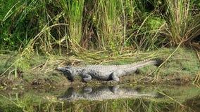 Loopable泽鳄鳄鱼湾鳄palustris Cinemagraph,也告诉了河岸的Marsh Crocodile 影视素材