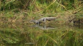 Loopable泽鳄鳄鱼湾鳄palustris Cinemagraph,也告诉了河岸的Marsh Crocodile 股票视频