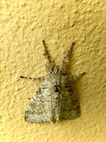 Looper Moth 1. A close-up view of a Looper Moth Royalty Free Stock Images