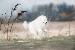 Looppas van de Maremma de witte hond in sneeuw in een bos royalty-vrije stock afbeeldingen