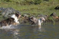 Looppas van twee de Australische herdershonden Royalty-vrije Stock Afbeeldingen