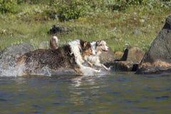 Looppas van twee de Australische herdershonden Royalty-vrije Stock Foto's