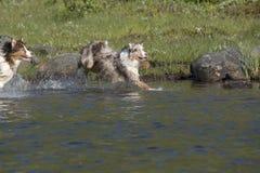 Looppas van twee de Australische herdershonden Royalty-vrije Stock Fotografie