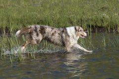 Looppas van twee de Australische herdershonden Royalty-vrije Stock Afbeelding