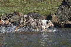 Looppas van twee de Australische herdershonden Stock Afbeeldingen