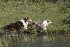 Looppas van twee de Australische herdershonden Stock Foto