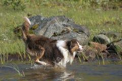 Looppas van twee de Australische herdershonden Stock Fotografie