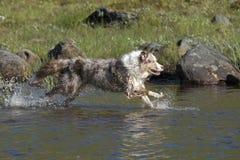Looppas van twee de Australische herdershonden Stock Foto's