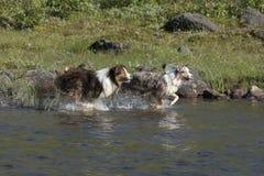 Looppas van twee de Australische herdershonden Stock Afbeelding
