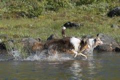 Looppas van twee de Australische herdershonden Royalty-vrije Stock Foto