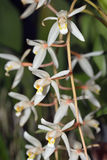 Loose Coelogyne Orchid Royalty Free Stock Images