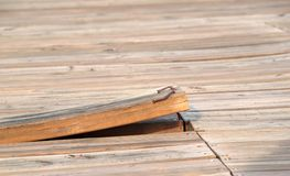 Loose Floorboard. An upward bent loosened plank with rusty nails Royalty Free Stock Photography