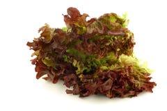 Loose-leaf lettuce 'lollo red' Stock Photos