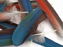 Loose Macaw Feathers Stock Images