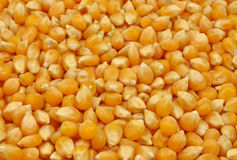 Loose maize seeds Royalty Free Stock Images