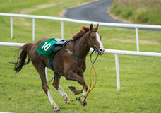 Loose runaway race horse Stock Images