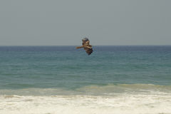 Loosely hawk soars over the sea Stock Images